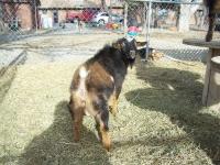 goat 039.JPG?1330015628966