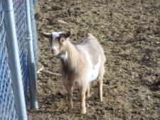 goat 042.JPG?1326335351356