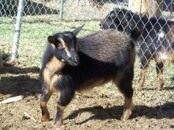 goats feb 9 2012 016.JPG?1328839169483