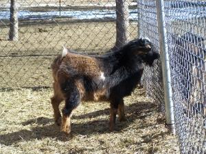 goats feb 9 2012 021.JPG?1328840569651