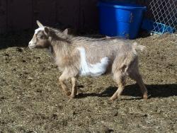 goats feb 9 2012 026.JPG?1328839517496